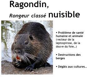 ragondin4-1